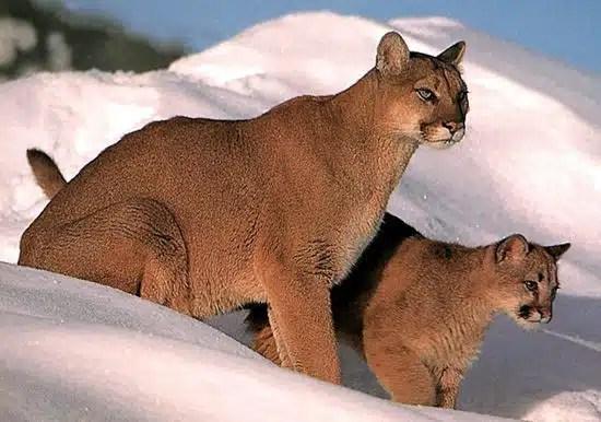 BC Animal Identification CORE Felid