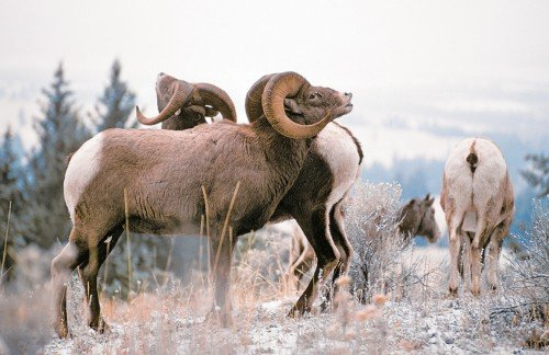 BC Animal Identification CORE Ungulates