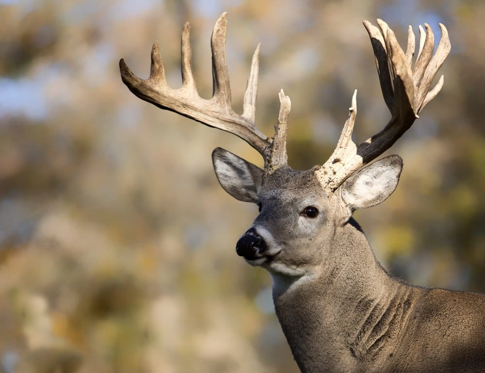 BC Animal Identification CORE Whitetail Deer