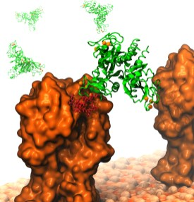 SP-D binding to hemagglutinin of influenza A virus to protect us from flu