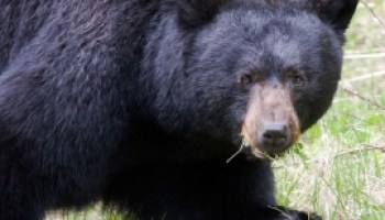 Field Judging Black Bear | ON TARGET in CANADA