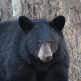 sbear1