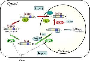 Proposed nuclear/cytosolic trafficking pathways of ChREBP.   J. Biol. Chem. 2013;288:28368