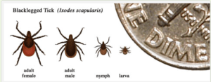 Relative sizes of several ticks at different life stages. CDC website
