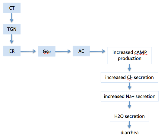 Fig. 5. Mechanism of cholera pathogenesis. Following the escape of CTA1 from the ER, the toxin activated adenylate cyclase (AC) in the cytosol and causes an increase of chloride channel activation and ion flux.