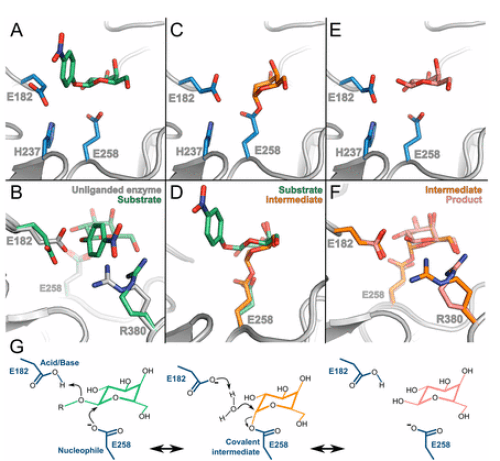 Figure 2. Catalytic cycle of wild-type B-galactocerebrosidase. Image Source: Hill et al., 2013