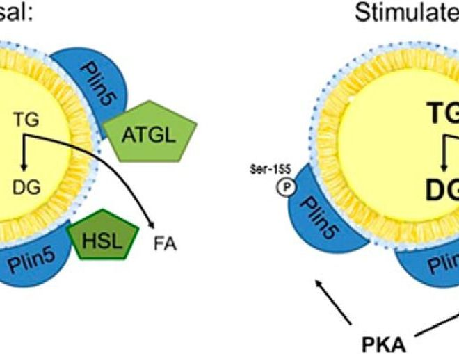 Getting to the Heart of the Matter: The role of PKA in Plin-5 regulated lipolysis in cardiac muscle
