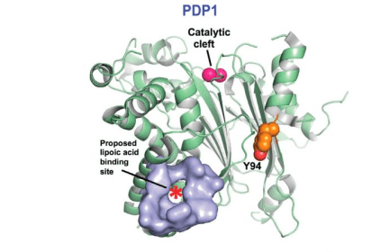 Figure 1. Crystal structure of Tyr-94 phosphorylated PDP1. This form of PDP1 is shown to have inhibited dephosphorylation activity, but the structure reveals that the phosphorylated Tyr-94 site is more likely to affect the lipoic acid binding site rather than the catalytic cleft, reflecting a more indirect course of action. (Shan et al., 2014)