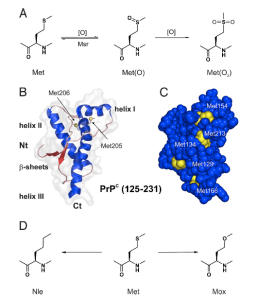 Figure 13. (a) Shows possible oxidation states of methionine, (b) illustrates the 3-dimensional shape of PrP, (c) displays the surface methionines on the protein that are available for oxidation and (d) presents the three residues investigated in this study. (Wolschner et. al. 2009)