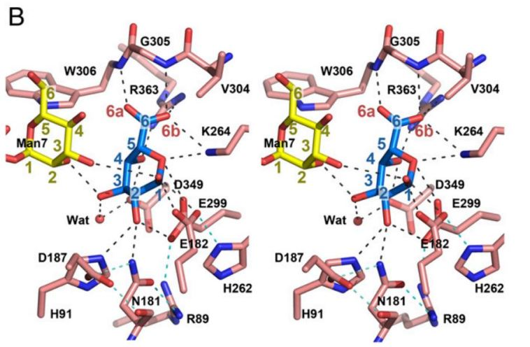Structure of iduronic acid in catalytic site of IDUA.  Note the hydrogen bonding of the substrate (center, blue) to the mannose (left, yellow).  Source: Haita et al. 2013.