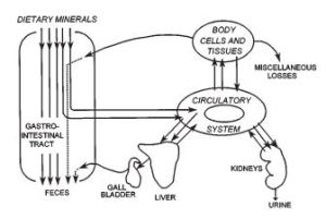 The above figure explains the path for the absorption, use and excretion of heavy minerals from the human body. In the case of copper, we consume copper in our diet and it is