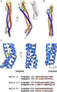 The structure of the TbHpHbR from T. brucei (A), T. congolese (B), and a close up of the kink in the receptor due to several hydrophobic residues, as well as a alignment of helix sequences. From Lane-Serff et al, 2014.
