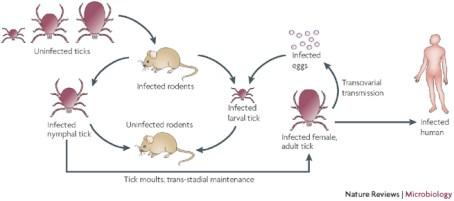 Figure 2: Life cycle of Rickettsia rickettsii.