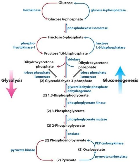 Figure 2: The gluconeogenesis and glycolysis pathway with enzyme and substrate names. Source: Google Image