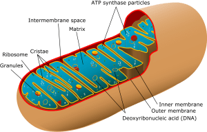 Figure 2: Structure of mitochondrion. Source: Google Images