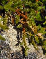 selaginella_wallacei2