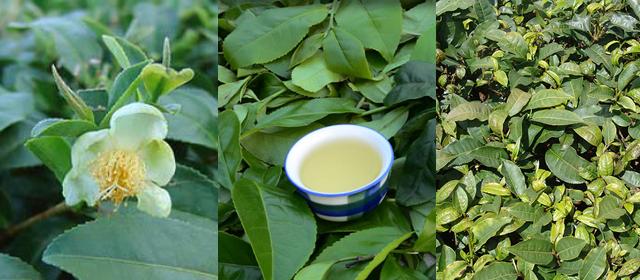 hojas del te tea shop