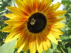 The bumble bees love the sunflowers
