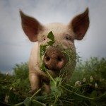 Raising Livestock, Pig