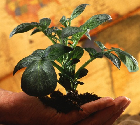 Hand Holding Potato Plant