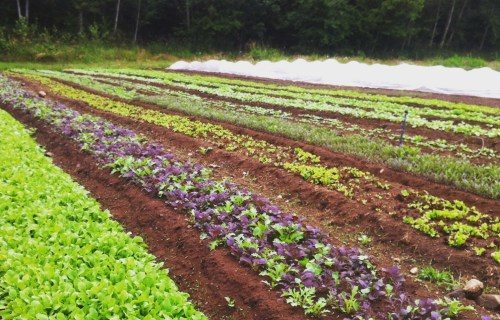Certified Organic Fields at Halt & Harrow Farm