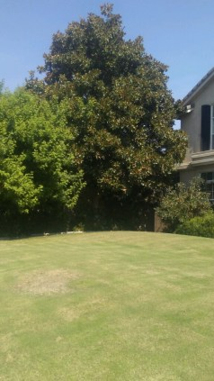 Before photo of Magnolia and Brazilian Pepper Tree July 21 2017