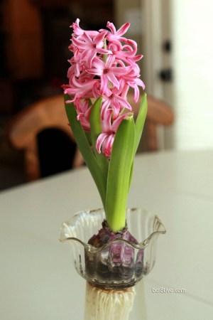 Forced Hyacinths