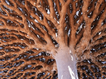 dragons-blood-tree-of-socrata