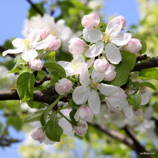 Apple Blossoms Cluster