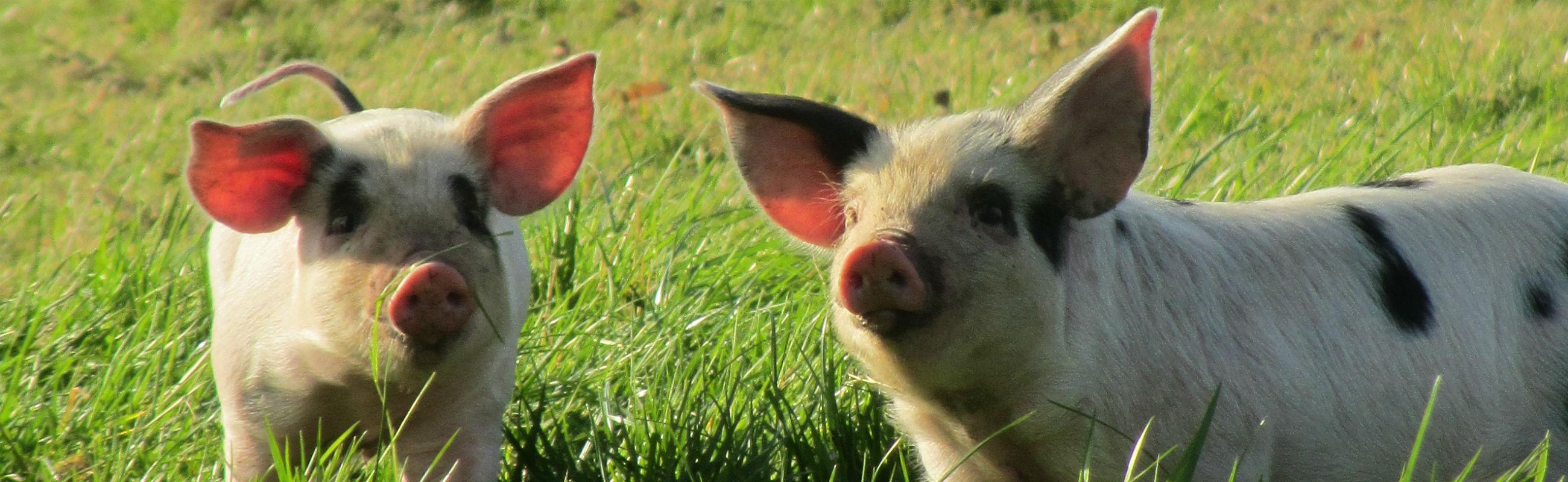 SCA – pigs for slider