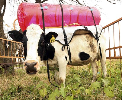 Argentine scientists are strapping plastic tanks to the backs of cows.  (Reuters)