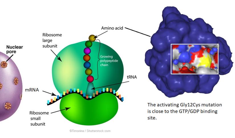 mRNA, ribosome, G12C KRAS, active site inhibitor