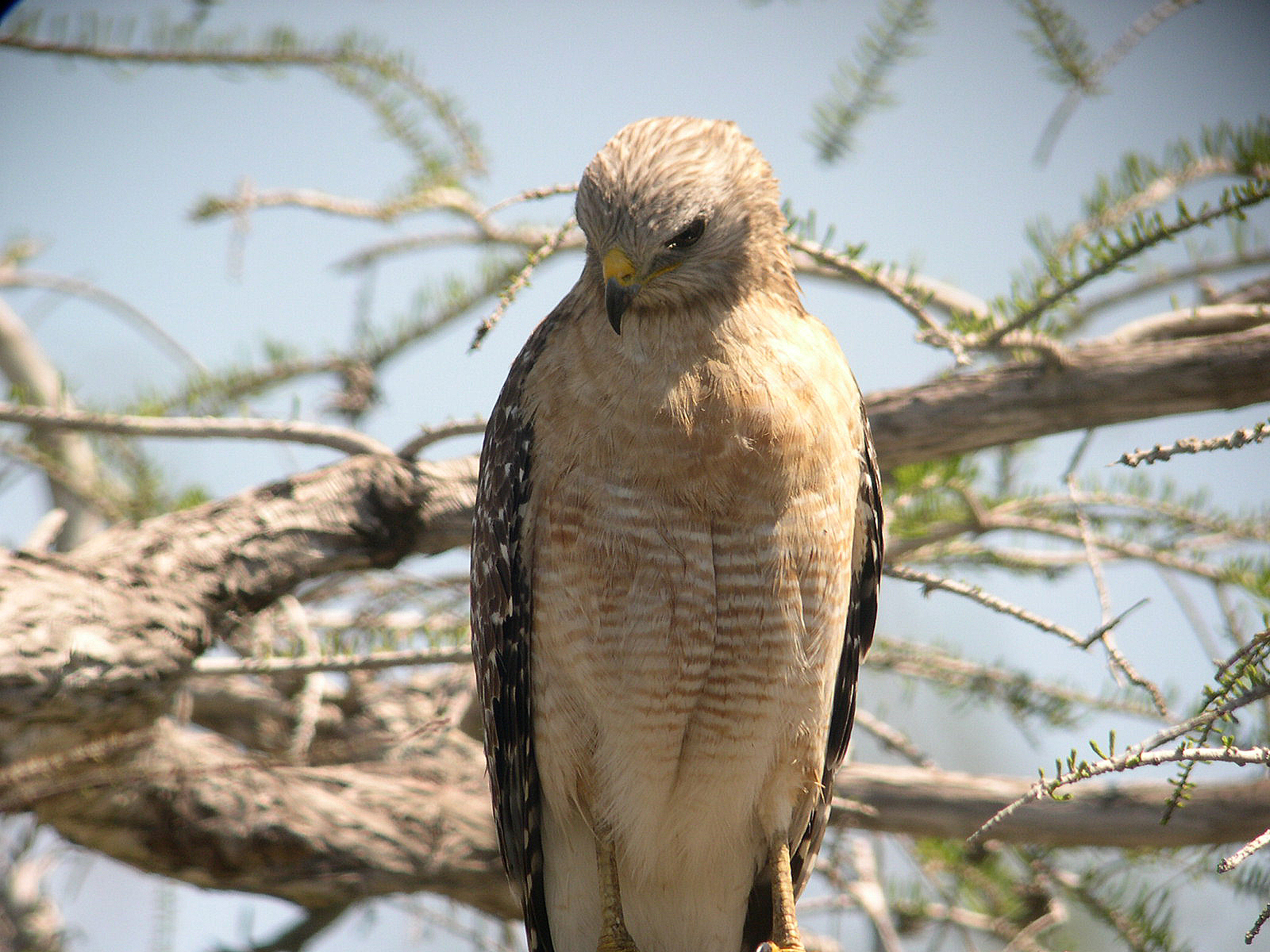 Just When You Think You Have Hawks Figured Out A New One Shows Up