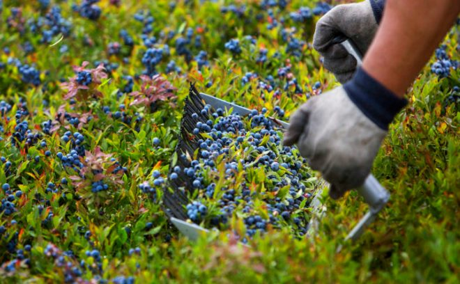 Wild blueberry conference strategizes how industry can stay ...