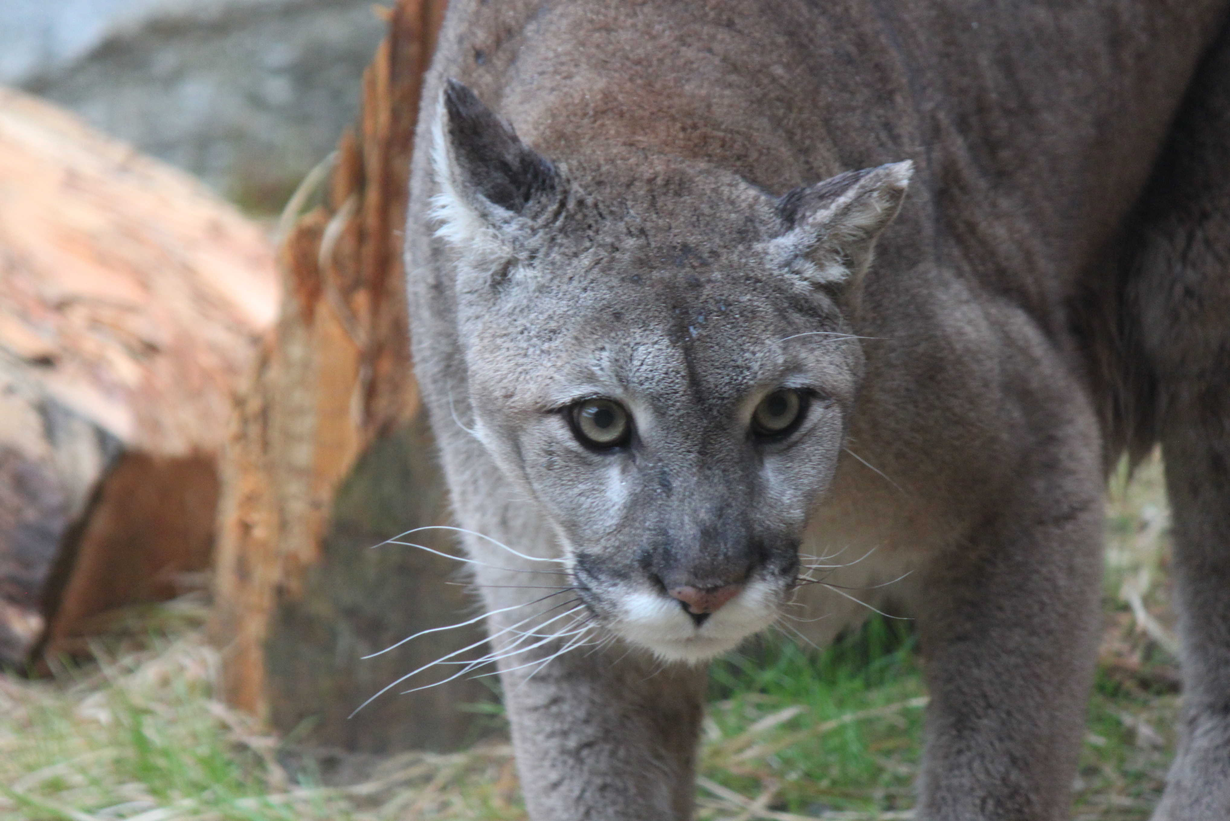 Mainers Seem Certain That Mountain Lions Are Here