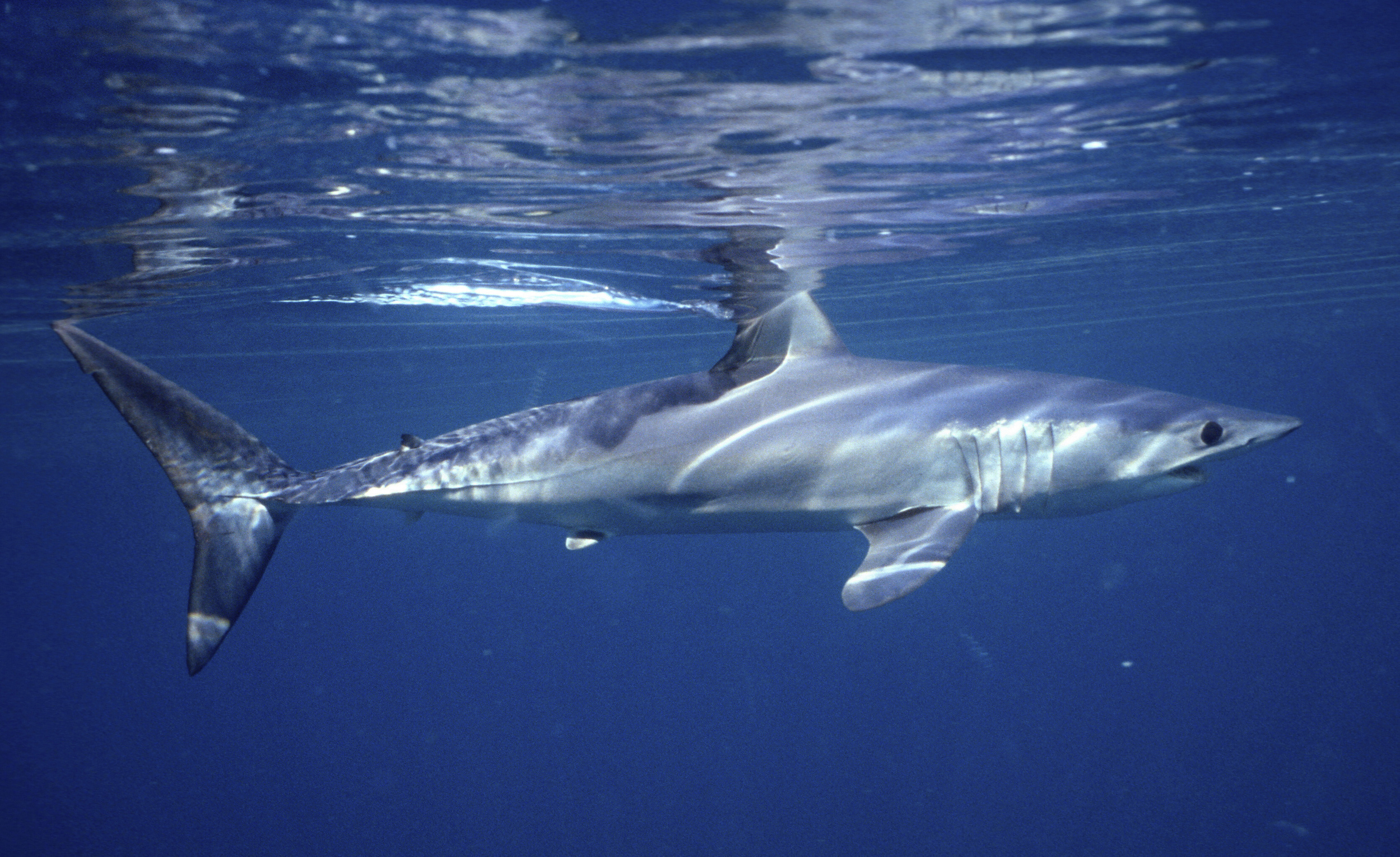 Oceanic shark populations dropped 71 percent since 1970