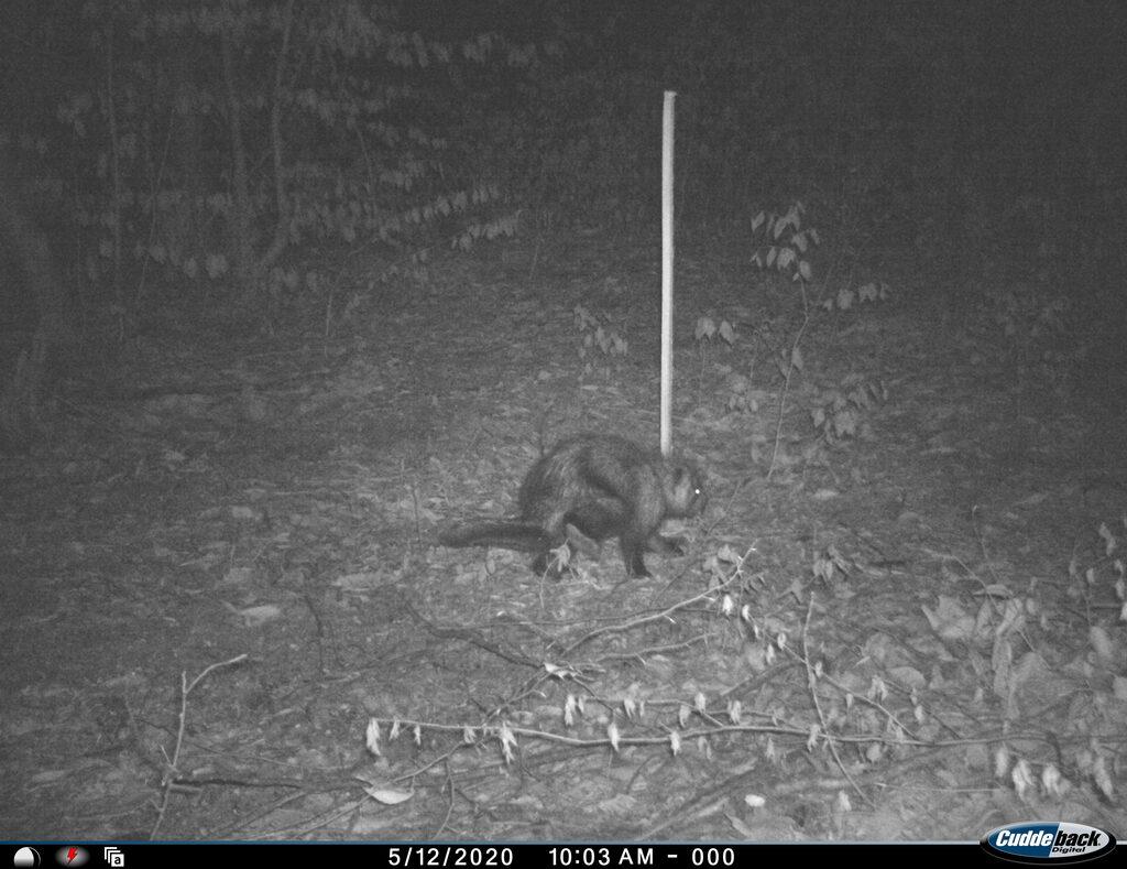 Creepy mystery beast skulks past Penobscot County trail...