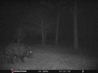 These trail cam wild boars live in Texas, and they can stay there
