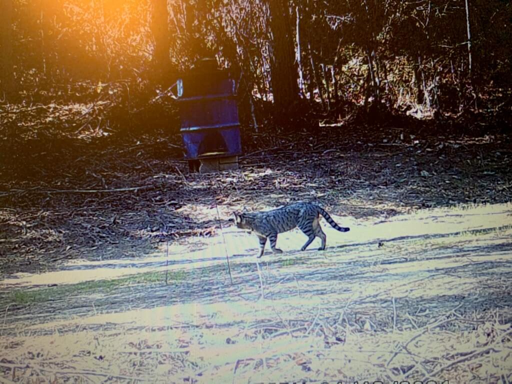 Identify the Mystery Cat