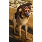 [Tier 3] Shepherd Dog