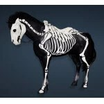 Skeletal Horse Set