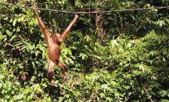 Swing for your Supper (Sepilok, Borneo 2013)