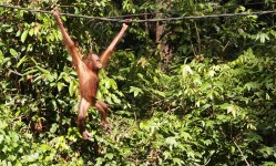 Swing for your Supper (Sepilok, Borneo 2013)