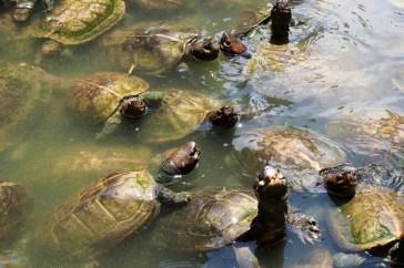 Curious turtles @ Kek Lok Si Temple