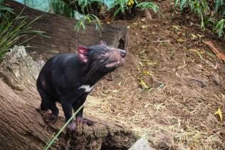 The Devil - Bonorong Wildlife Sanctury