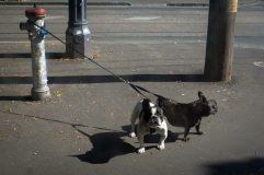 Rein Dogs