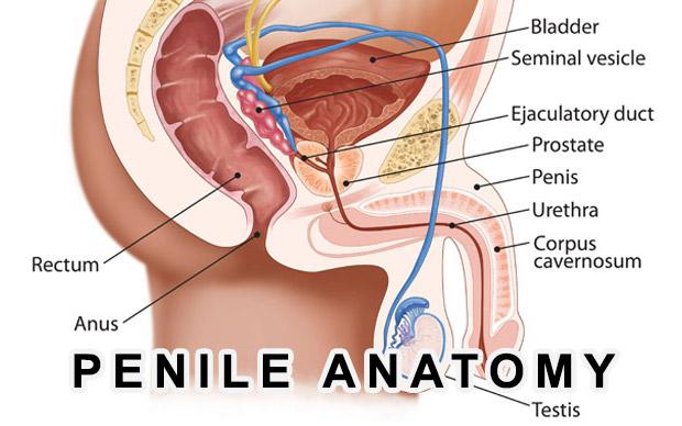 CBT_penile-anatomy1