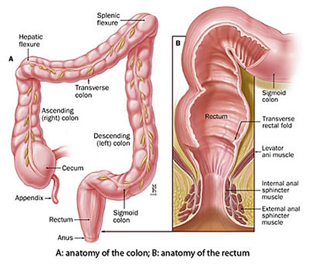 anal_anatomy