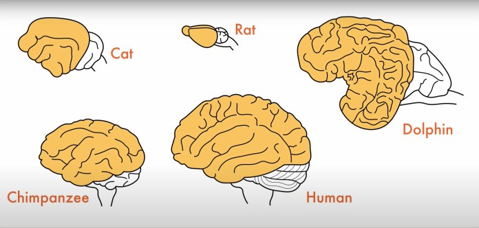 mammal cortex