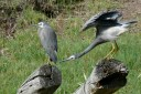 White-faced Heron pair